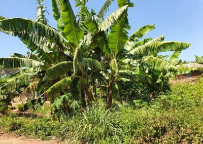 Banana growing at Muchulo plot